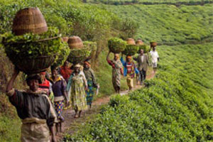 Rwanda: Increased Coffee Production to Boost Economic Growth - CEPAR