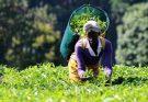 Tea exports Food